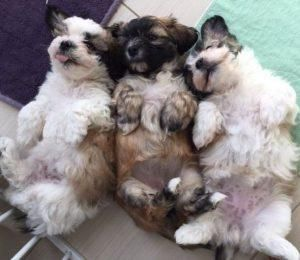 Shih Tzu Puppies For Sale Ny By Selvy Ananda 14 Shihtzu Shih Tzu Puppy Shih Tzu Funny Shih Tzu