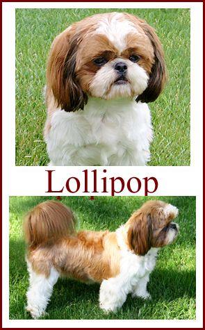 Shih Tzu Puppies For Sale In Indiana Breeder Of Shih Tzu Puppies