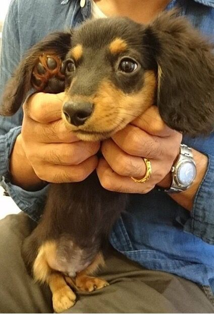 Longhaired Black And Tan Dachshund Puppy If You Love Dachshunds