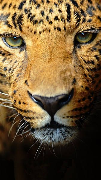 Samsung Galaxy S7 Leopard Face Wallpaper