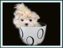 Teacup Puppies And Teacup Puppies Boutique Designer Dog C
