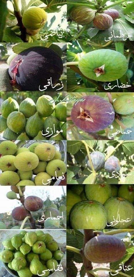 من اشهر اسماء التين الفلسطيني Palestine Agriculture Tiy