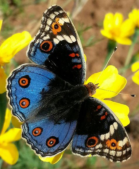 """Junonia orithya madagascariensis - see dali48 and Butterflies and """"Flora and Fauna"""" since ca. 2000 etc. - """"If the Butterflies disappeared off the face of the earth - mankind would only have little left to live joyfully"""" etc..."""