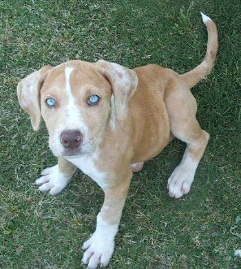 Catahoula Puppy Catahoula Bulldog Information And Pictures