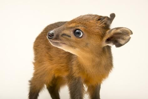 A Juvenile Red Flanked Duiker Cephalophus Rufilatus At The Los Angeles Zoo Photographic Print Joel Sartore Art Com In 2020 Los Angeles Zoo Mammals Animals