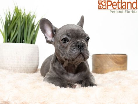 Puppies For Sale Puppies Bulldog Puppies French Bulldog Puppies