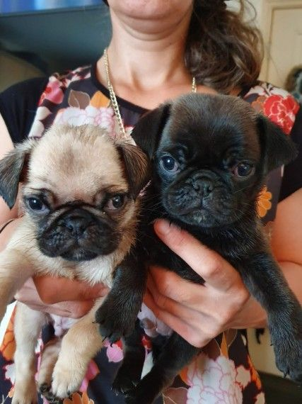 Male Pug Puppies For Sale Pug Puppies Pug Puppies For Sale