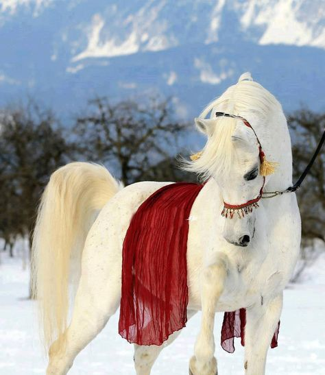"red on white     GORGEOUS HORSE!!!!! EVERYTHING ABOUT THIS PHOTO IS ""PERFECT!!!"" LOVE THE POSE OF THE HORSE AND THE RED ON WHITE MAKES IT EXQUISITE!!!!! BEAUTIFUL TO SAY THE LEAST! :D  ~KIM NIEMI BUHLER~*+  <3"