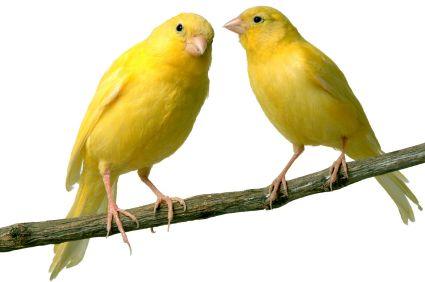 Te Enseño A Curar Cualquier Enfermedad De Pajaros O Ave En Taringa Canary Birds Animals Pet Birds