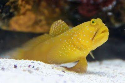 Ikan Watchman Gobies Di 2020 Ikan Ikan Badut Habitat