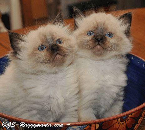 Raggymania Ragdoll Cat Breeders Ragdoll Kitten Cat Breeder