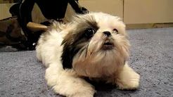 Shih Tzu Dog Yorkie Mix Dogs And Puppies Cute Animals