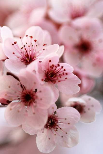 Limited Edition Sakura Japanese Cherry Blossom Closeup Macro Photography Pr Flowers Photography Wallpaper Spring Flowers Photography Japanese Cherry Blossom