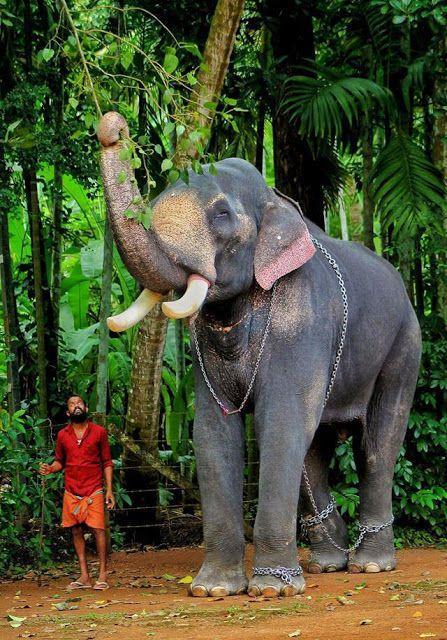 Chirakkal Kalidasan With Images Famous Elephants Elephants