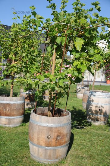 Vitis Vinifera Weinrebe Grape Vine Im Fass Fass Grape Vine Vinifera Vitis Weinrebe Grape Vines Wine Barrel Planter Grape Plant