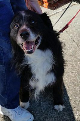 Columbus Oh Border Collie Meet Gatsby A Dog For Adoption