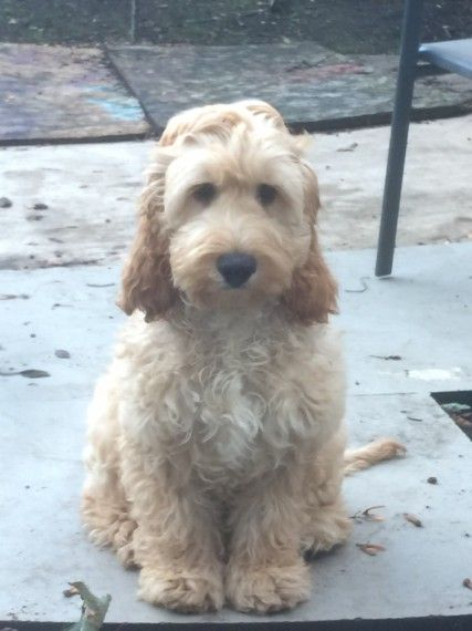Beautiful Golden Male Cockapoo For New Home Cockapoo Beautiful