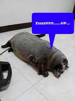 Fatso Musang Pandan Musang