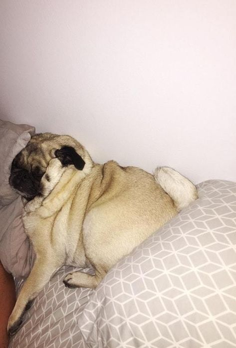 The Daily Pug Blog Pretty Sure He Doesn T Have A Skeleton Inside