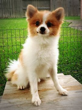 Pomeranian Puppy For Sale In Houston Tx Usa Adn 58640 On