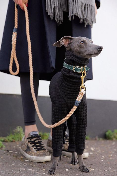 Stylish Italian Greyhound Clothing, Black Quilt Iggy Dog Sweater Jute and Sable Hampstead Onesie Italian Greyhound Dog, Dog Pajamas, Grey Hound Dog, Small Dog Breeds, Dog Accessories, Dog Photos, Animal Photography, Dog Love, Tiger Cubs