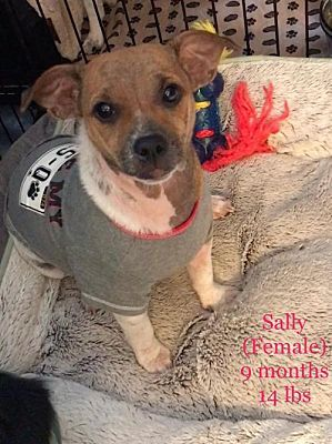 Sally Is A 9 Month Old Dachshund Jack Russell Terrier Mix Who
