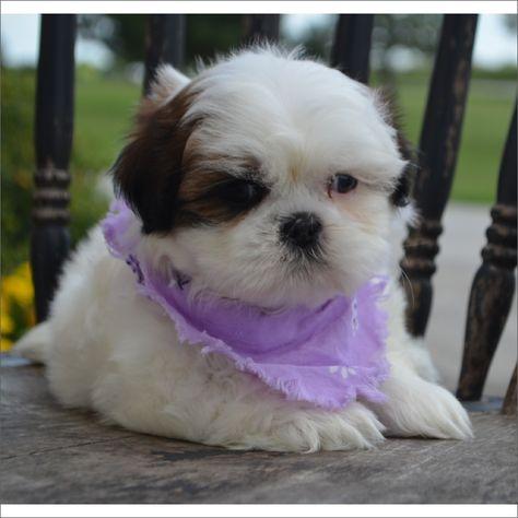 Shih Tzu Puppy For Sale In Tucson Az Adn 42276 On Puppyfinder