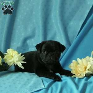 Laffy Pug Puppy For Sale In Pennsylvania Chiweenie Pug