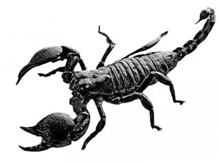 Home Art Scorpion Scorpio Scorpion Tattoo
