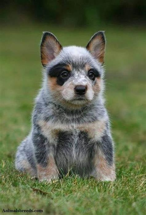 The Top 10 Cutest Puppy in the World for kids 2020 ! Dog Training - funny dogs doing tricks Cute Dogs And Puppies, Baby Dogs, Doggies, Cute Little Animals, Beautiful Dogs, Training Tips, Dog Training, Blue Heelers, Blue Heeler Dog