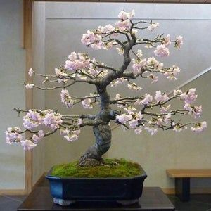 One 1 Tiny Blue Wisteria Tree Live Tree Live Plant Blooms Galore Shipping Now In 2021 Cherry Blossom Bonsai Tree Flowering Bonsai Tree Bonsai Tree Types