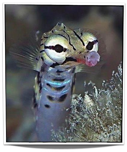 Dragonface Pipefish Pet Fish African Cichlid Aquarium Animals