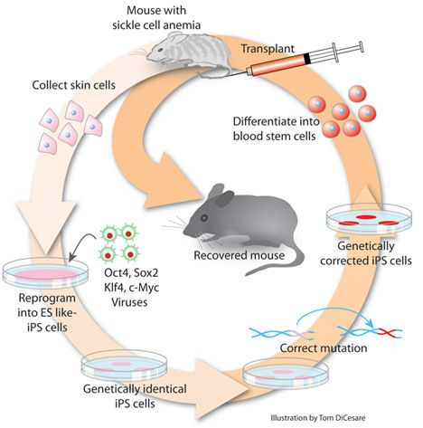 Induced Pluripotent Stem Cell Diagram Pictures Induced Pluripotent