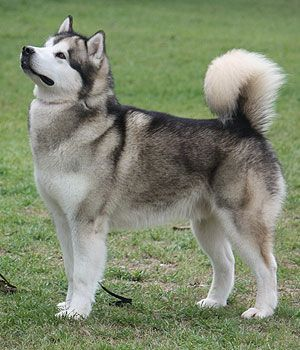 Alaskan Malamute Price Temperament Life Span With Images