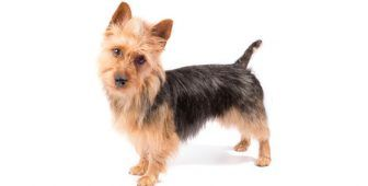 30 Small Hypoallergenic Dogs That Don T Shed Hypoallergenic Dogs Small Small Family Dogs Dog Breeds That Dont Shed