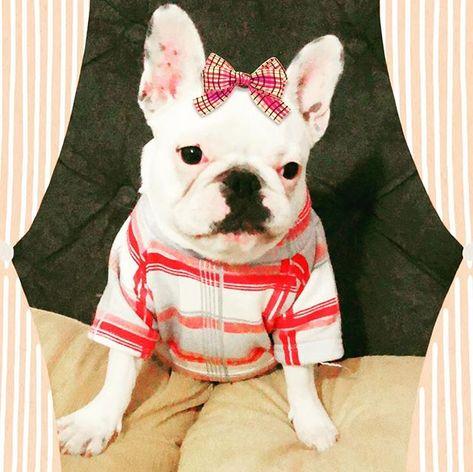 dogsofinstagram #frenchbulldog #bulldogfrances...