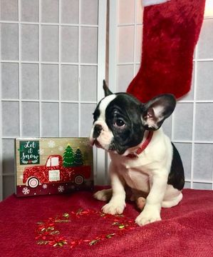 French Bulldog Puppy For Sale In Cranston Ri Adn 56742 On