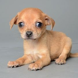Tiny Chihuahua Puppy Orlando Chihuahua Puppies Chihuahua Cute