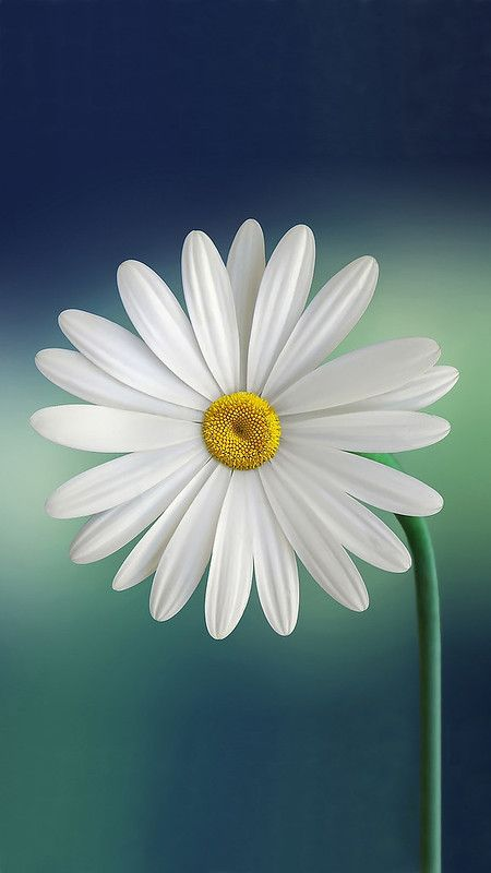 White And Yellow Flower Iphone 8 Wallpaper Daisy Wallpaper Nature Wallpaper Flower Wallpaper Free spring wallpaper for iphone 8