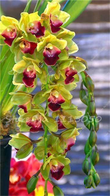 100 Pcs Cymbidium Seed Rainbow Chinese Cymbidium Orchid Flower Seeds Potted Plant Indoor Bonsai Garden Supplies Best C Bonsai Flower Orchid Seeds Orchid Flower
