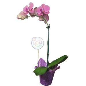 Mother S Day Orchid Plant In 4 In Grower Pot With Wrap Momorcp04 The Home Depot In 2020 Orchid Plants Plants Orchids