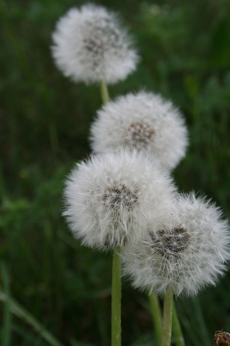 Fiori Bianchi Che Volano.Il Soffione Il Fiore Del Tarassaco Giallo Come Il Sole Si