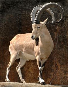 Ibex~Genus Capra Family, Bovidae goats or wild goats; 9 species including Markhor and Ibex. Wild goats have mountain habitat; agile and hardy, can climb on bare rock and survive on sparse vegetation.