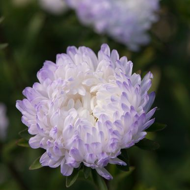 Tower Silver China Aster Seed Johnny S Selected Seeds Flower Seeds Flowers Garden Flower Beds