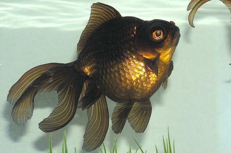 Ping Pong Oranda Live Fancy Goldfish Red White Size 6 5 039 039 00137 Beautiful Fish Goldfish Fish Pet