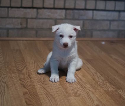 Siberian Husky Puppy For Sale In Colorado Springs Co Adn 61507