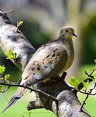 Mourning Dove. I've had two for twenty years, ring neck. Dove died a month ago, Love is doing well.