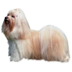 List Of Pinterest Havanese Grooming Haircuts Pictures Pinterest