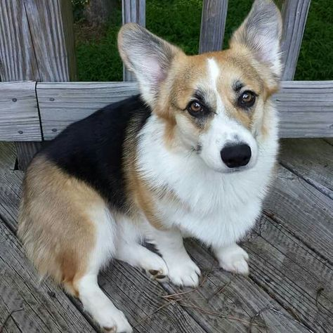 Handsome Ham Aka Alexander Hamilton Corgi English Bulldog