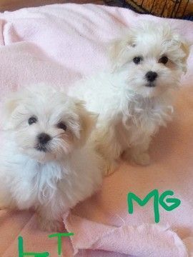 Maltese Puppy For Sale In Kerrville Tx Adn 52378 On Puppyfinder